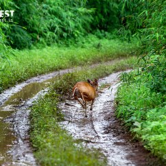 barking deer at Tadoba Andhari Tiger Reserve