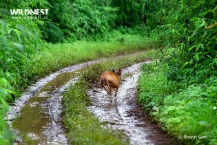 barking deer at Tadoba Andhari Tiger Reserve