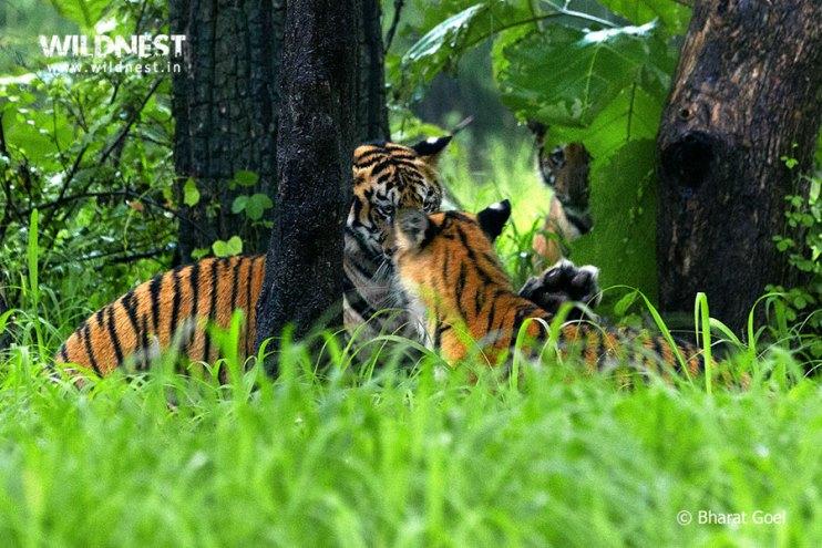 Tadoba Trip Report - tiger cubs playing at Tadoba Andhari Tiger Reserve