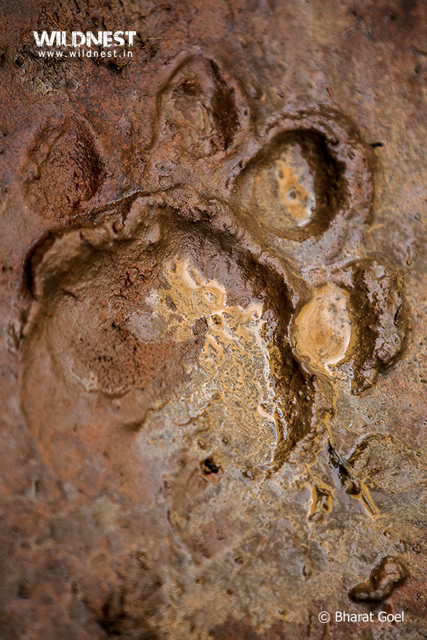 Tadoba Trip Report - tiger pug mark at Tadoba Andhari Tiger Reserve