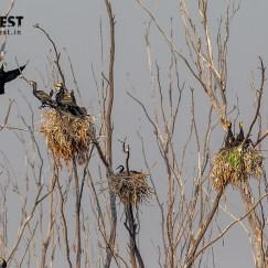 Great Cormorant Nesting at Bhindawas