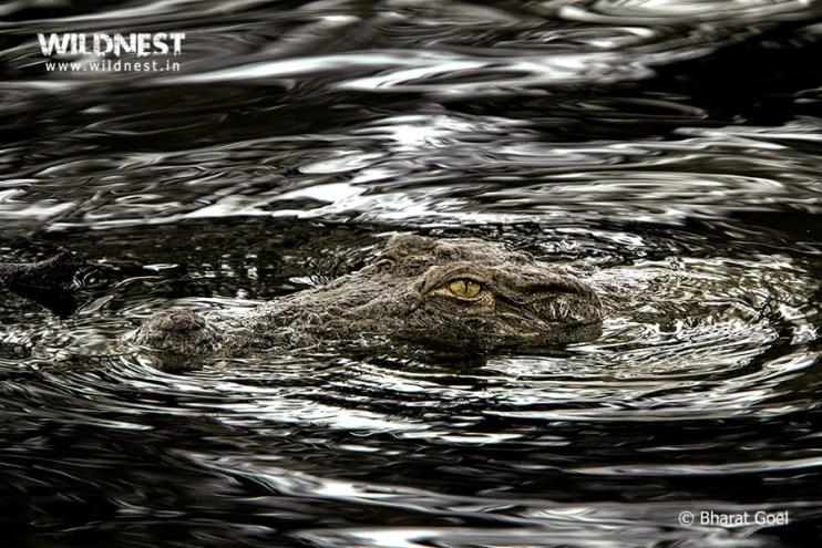 Tadoba Trip Report - Crocodile at tadoba