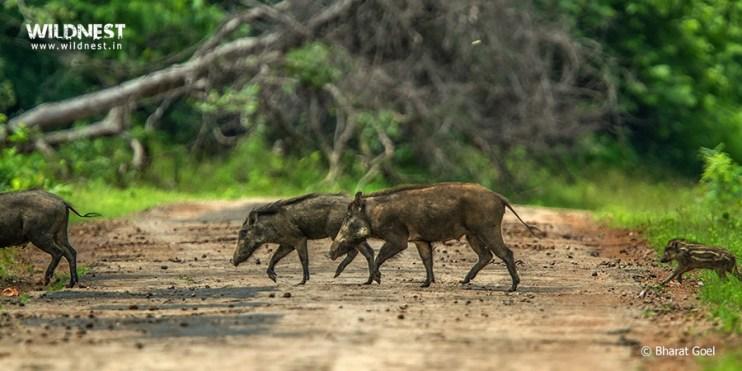 Tadoba Trip Report - wild boar with baby at tadoba