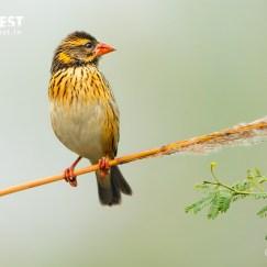Strekt viver bird Birding at KG Wetlands