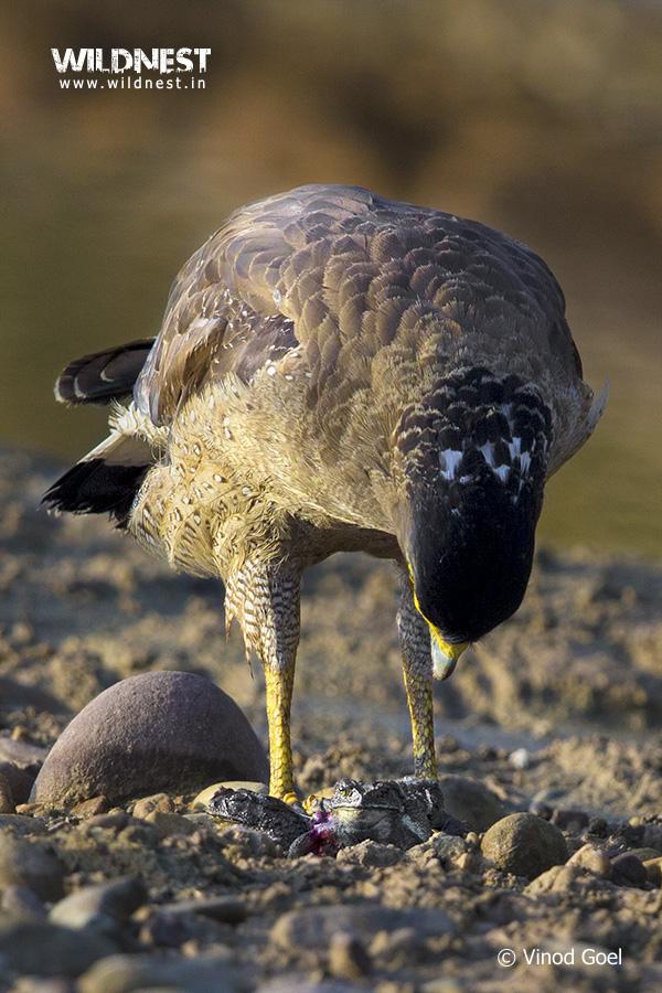 eagle kill toad at rajaji national park