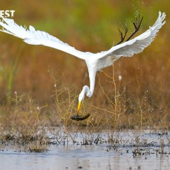 egret eat fish
