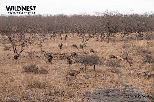 sambar deer in habitat at ranthambore