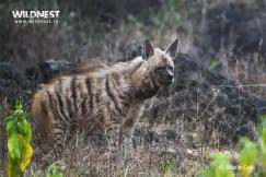 hyena photography at sariska tiger reserve