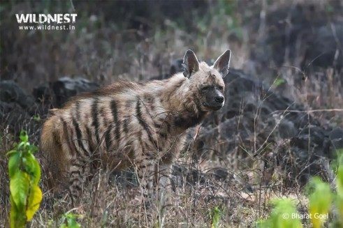 hyena photography at sariska tiger reserve