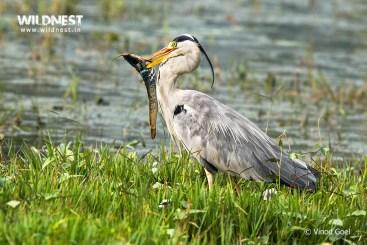 Grey heron eating fish at bharatpur wildlife sanctuary