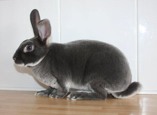 Mini Rex Color Guide Wildriver Rabbitryquality Mutation