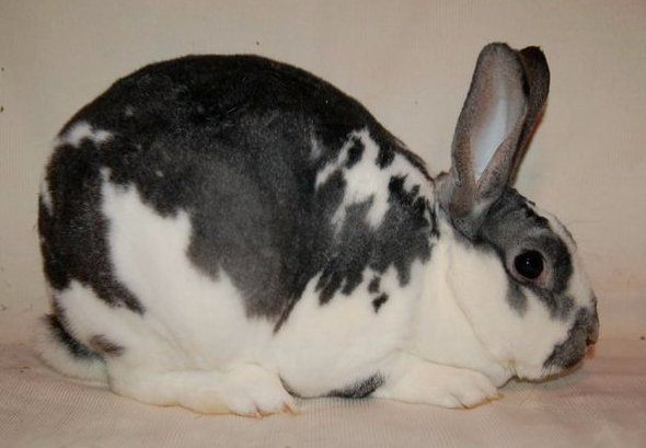 Mini Rex Color Guide - Wildriver Rabbitry