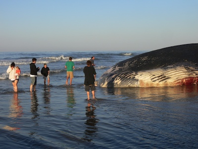 People Viewing Dead Blue Whale at Hobson Park