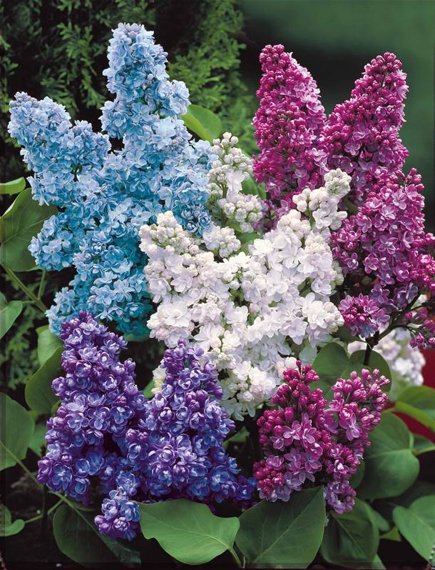 Table En Bois Exterieur Lilas Double Blanc Syringa - Arbuste Ornemental | Jardin & Pot