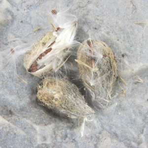 Milk Weed Seed Head 'Down'