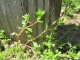 chickweed-fence