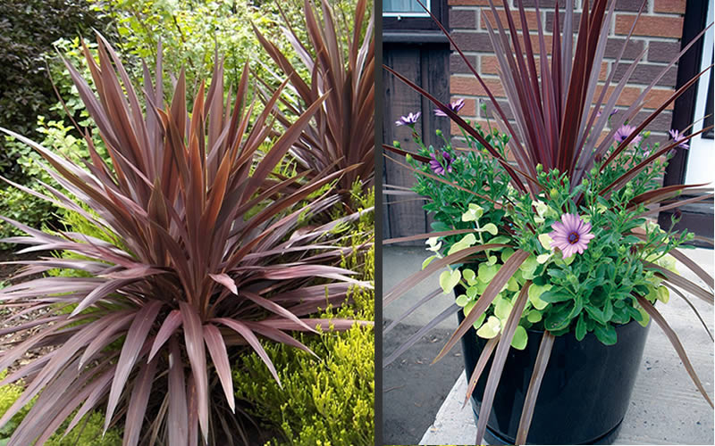 Red Cordyline Flower Spike Buy Red Star Cordyline For Sale, Best Prices, Large Plants