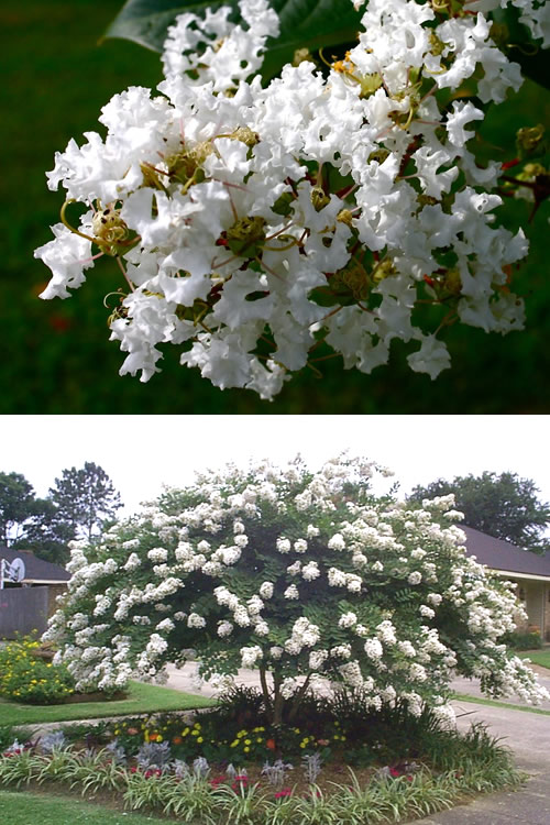 Hydrangea Flower Color Buy Acoma Crape Myrtle, Best Prices - Wilson Bros Gardens