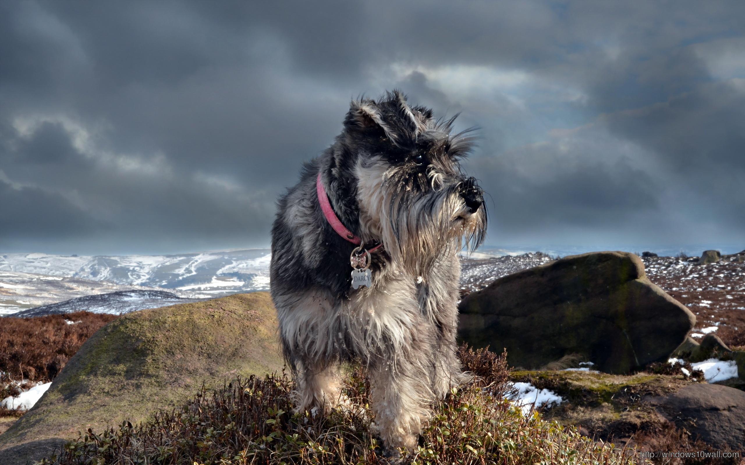 Minion Wallpaper Iphone 5 Schnauzer Dog Images Hd Background Wallpaper Windows 10