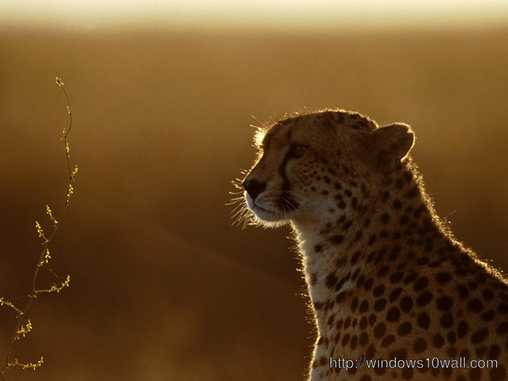 Sweet And Cute Wallpapers For Mobile Cheetah In Sunset Background Wallpaper Windows 10 Wallpapers