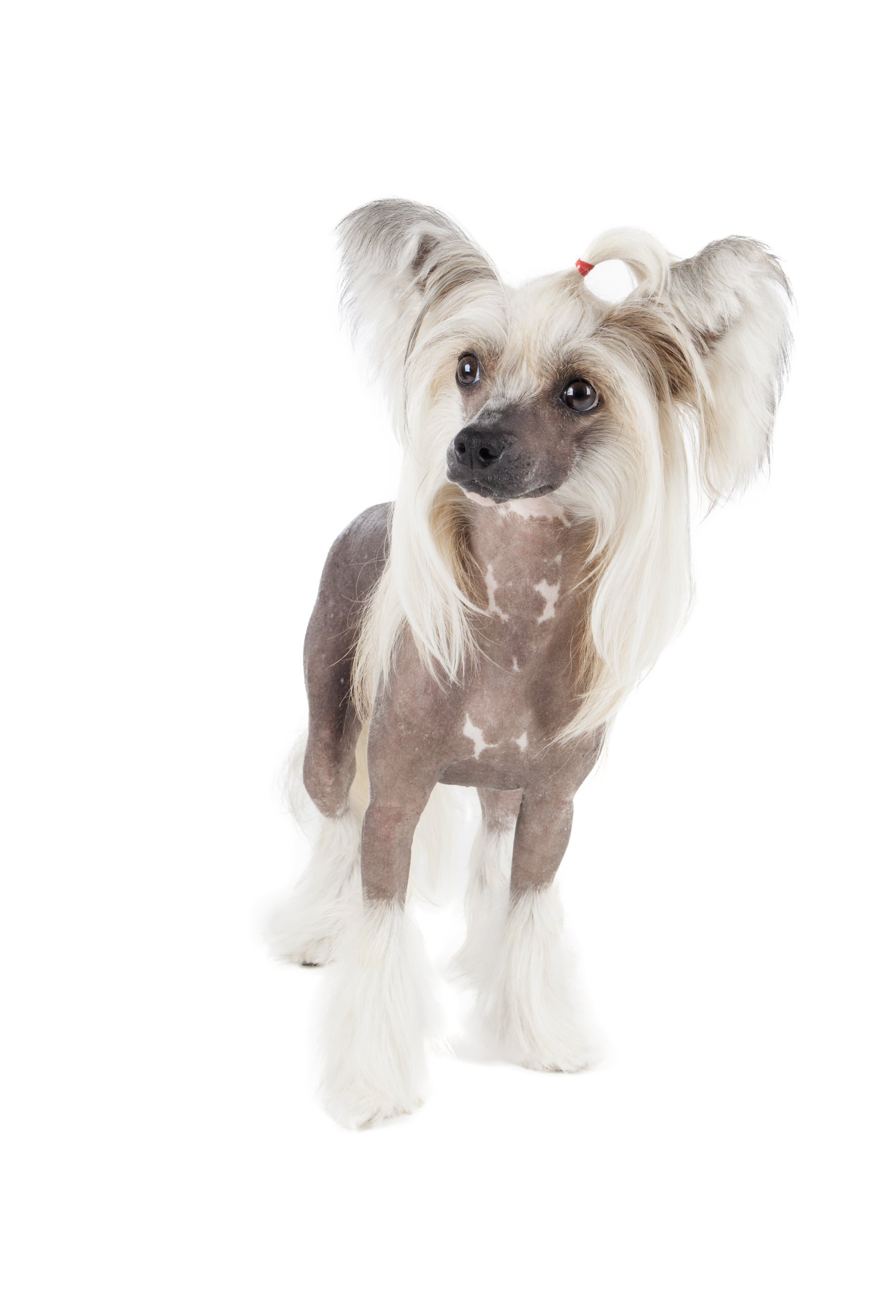 Invigorating While Thought Those Allergies Windy City Paws As A Hairless Some Chinese Crested Dogs Do Those Without Fur Have A Similar Look To American Dog Breeds bark post Chinese Dog Breeds