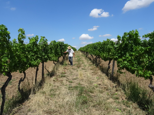 Working the vineyard at more than 30 degrees.