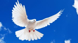 white-dove-hd-720p-animal