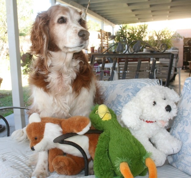 Winslow the Welsh Springer with his new menagerie