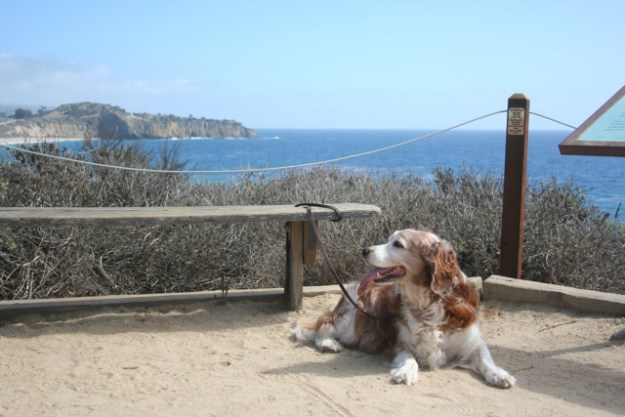 Winslow the Welsh Springer Spaniel at Crystal Cove State Park in California
