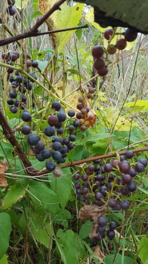 Medium Of Wild Grape Vine