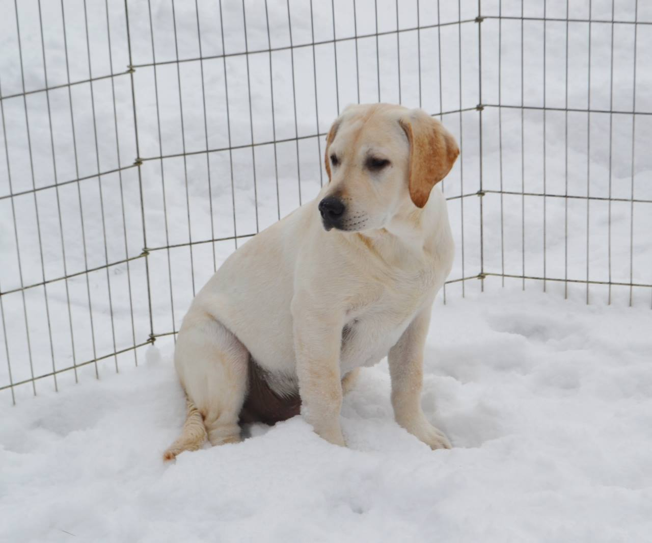 English Yellow Lab Puppies For Sale Light Yellow Ivory Male English Lab For Sale Limited Or
