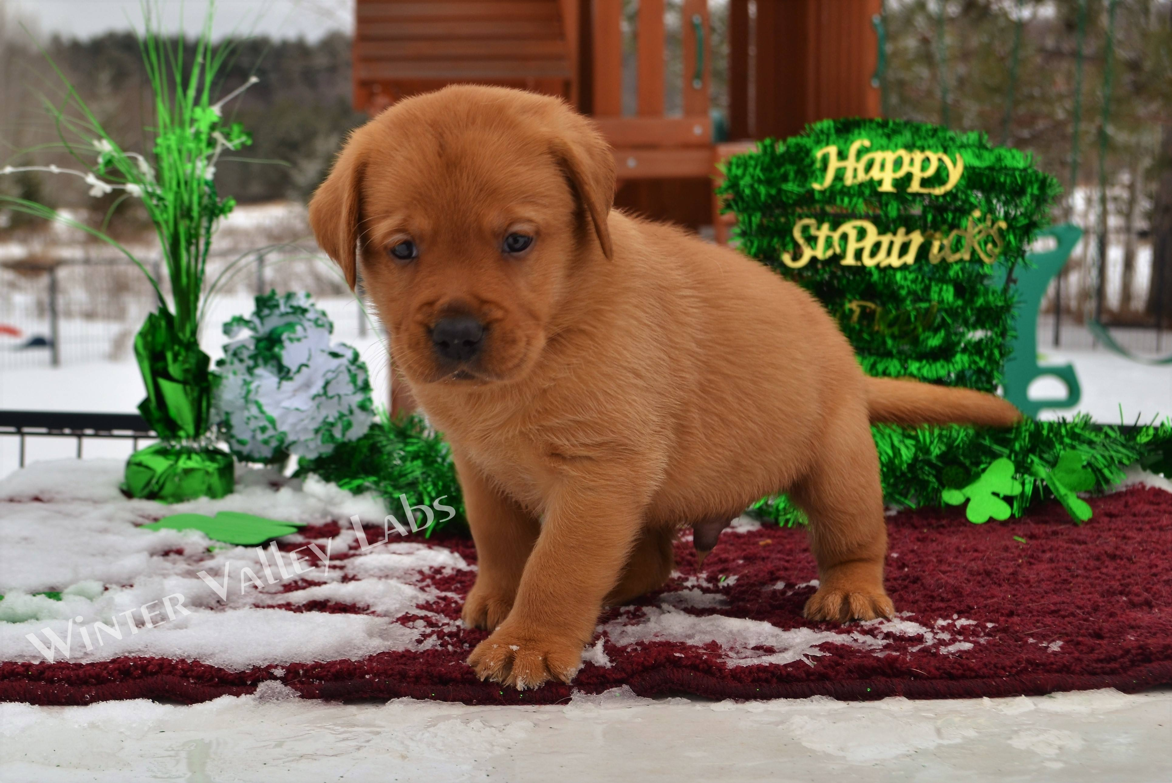 English Yellow Lab Puppies For Sale Female And Male Fox Red English Lab Puppies For Sale