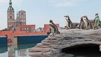 Pinguine-in-Stralsund