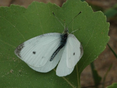 Medium Of Little White Butterflies