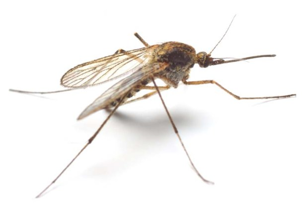 Anopheles mosquito - dangerous vehicle of infection - isolated