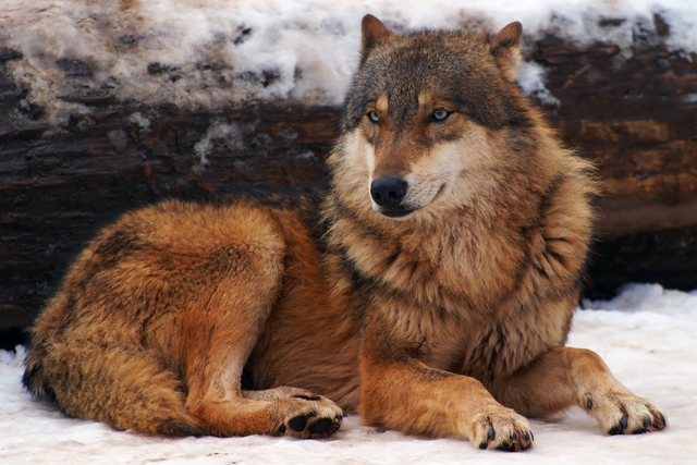 Wolf Range 48 Coyotes, Wolves And What The Heck Is A Coywolf