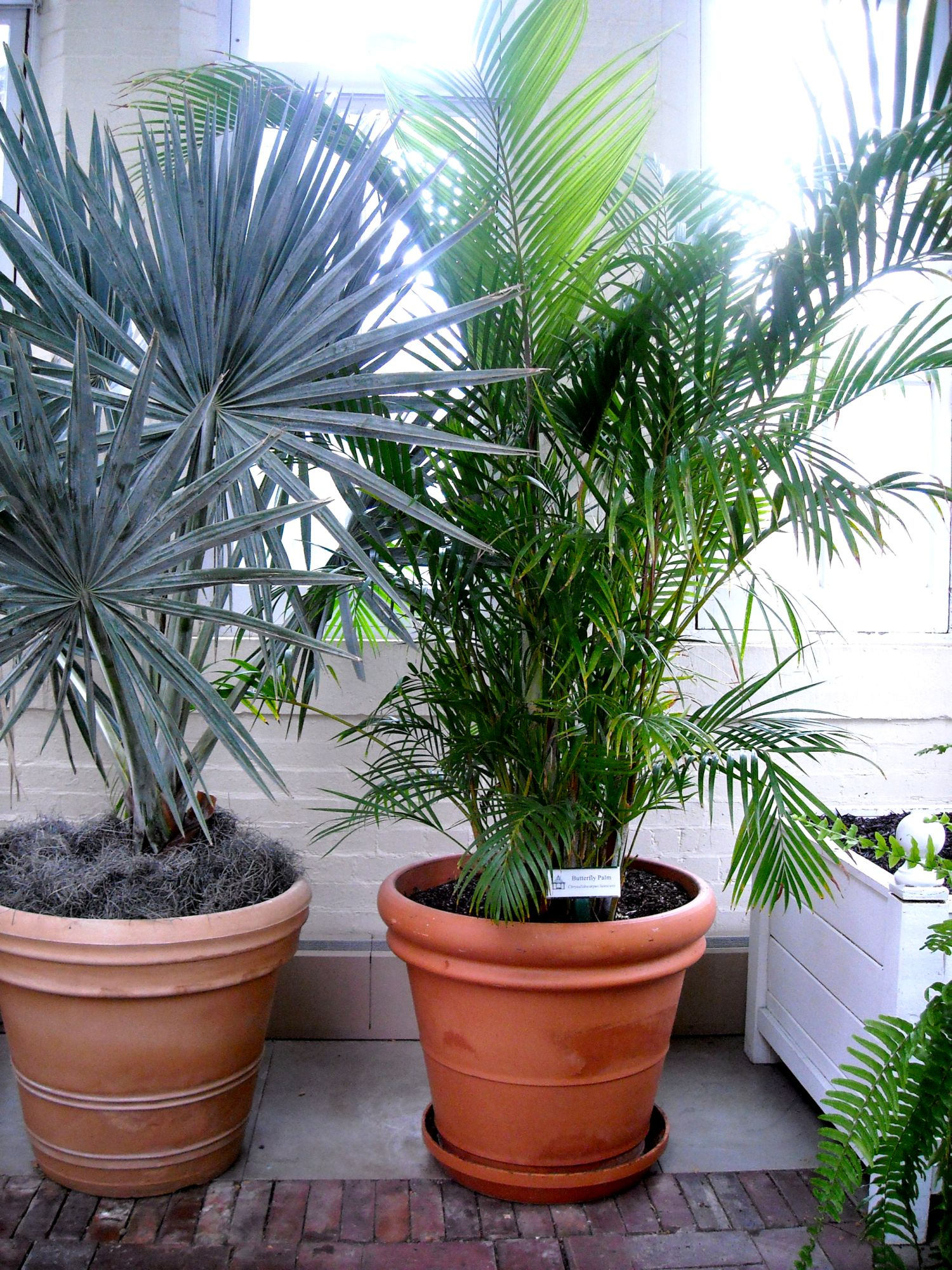Dypsis Lutescens Useful Tropical Plants Palm Piper House Walter Knoll Florist Client Exotic Palm