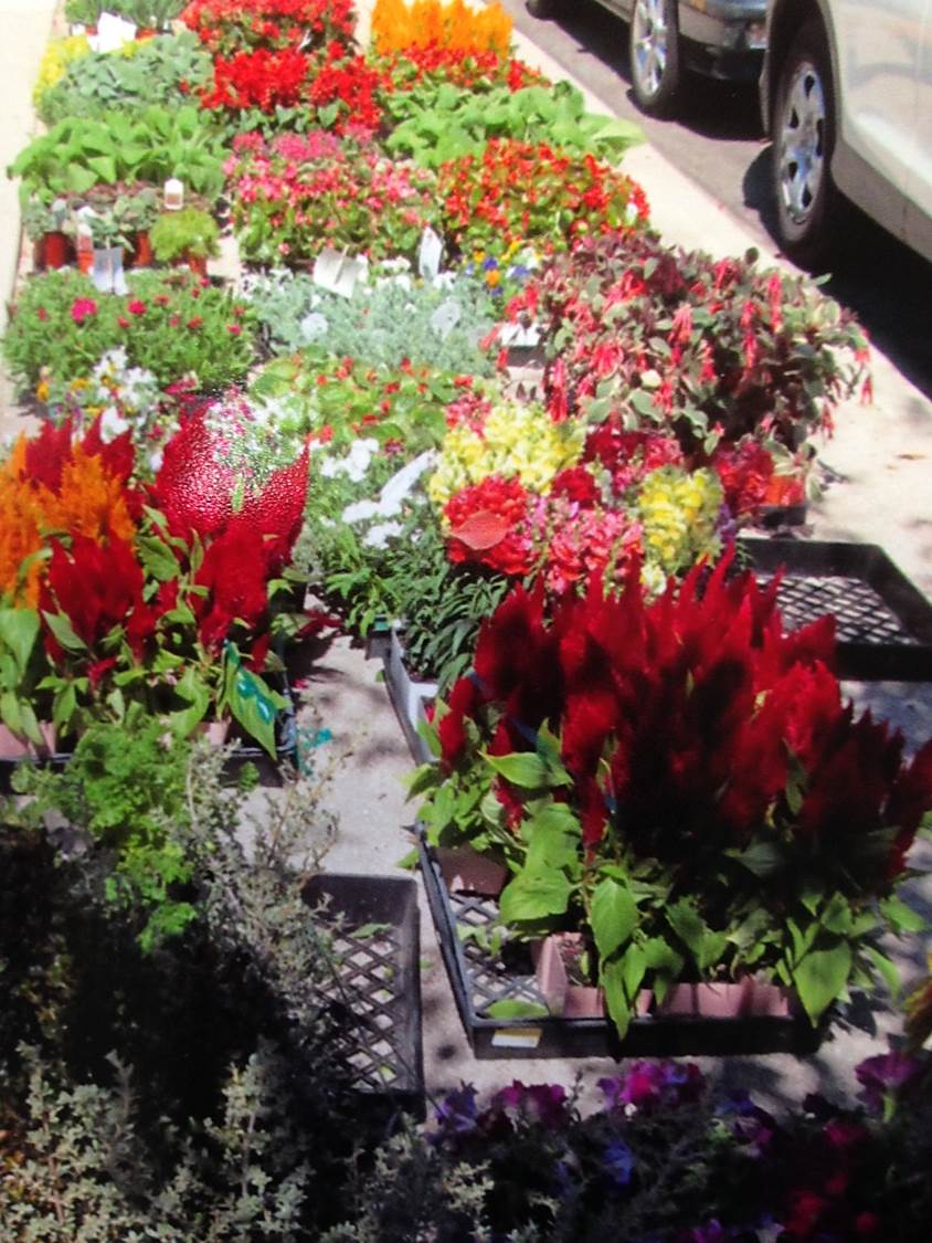 Asian Plants For Sale Asian Cultural Festival Flowers Plants West Los Angeles