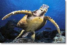Zanzibar conservation news ? More sea turtles released from Mnarani