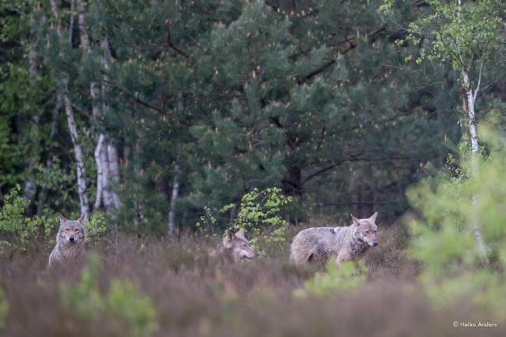 Wölfe (Foto: Wildtierfotograf Heiko Anders)
