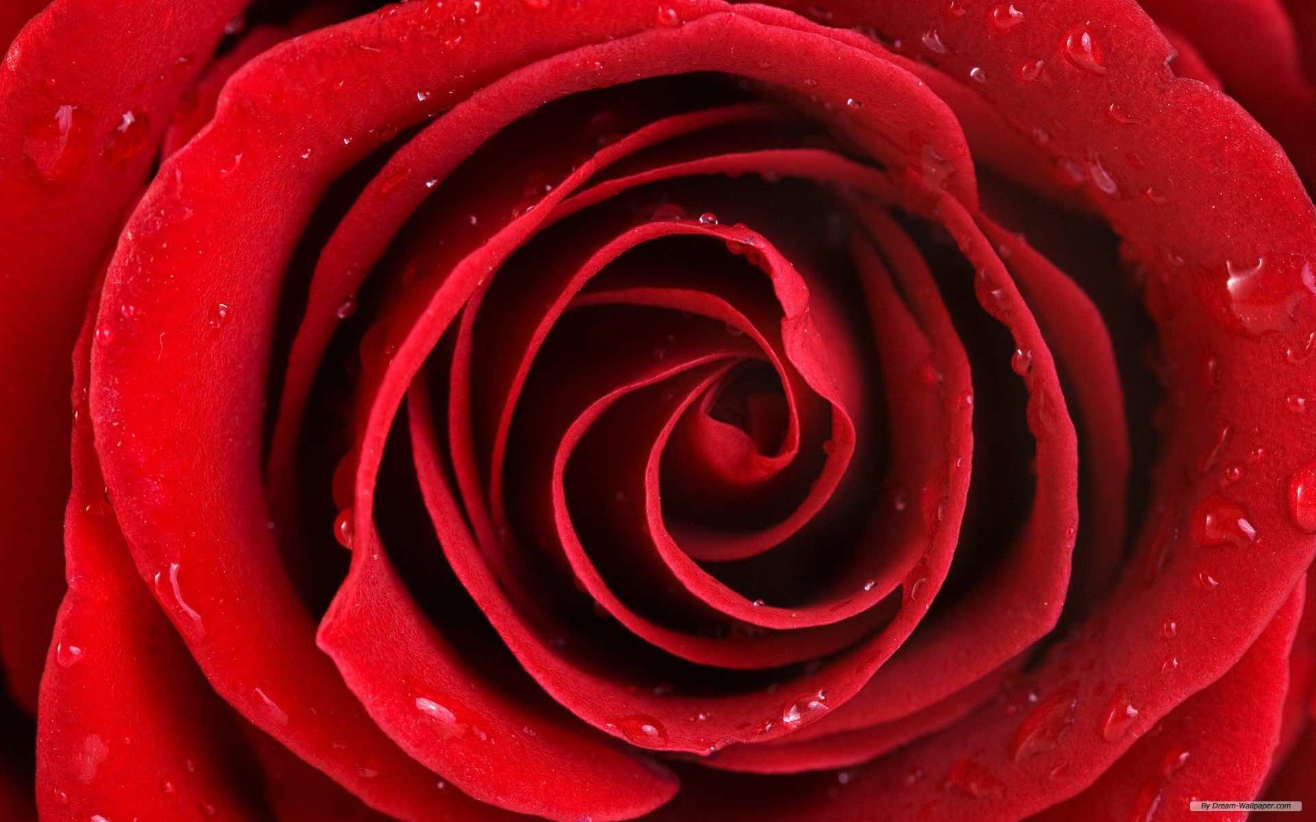 Falling Rose Petals Live Wallpaper 74 Rose Wallpaper For Hd Download