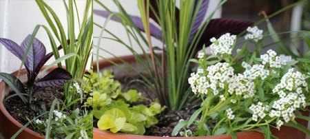Porch Planters: Persian Shield, Creeping Jenny, and Silver Stream Alyssum.
