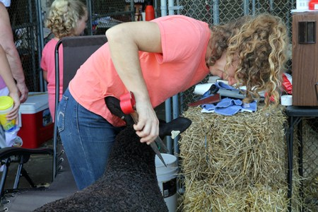Shearing sheep at the Maryland State Fair 2013