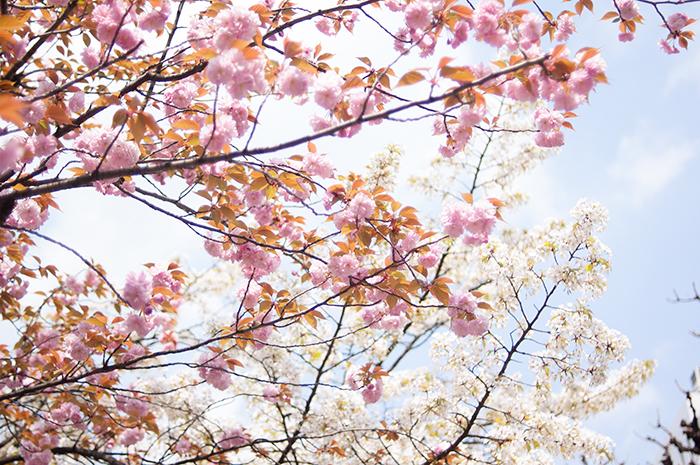御徒町公園の八重桜 2014年