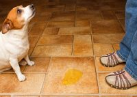 Medical & Behavioral Reasons Your Dog Is Urinating In The ...