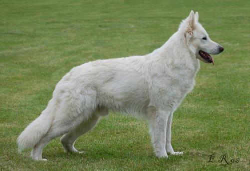 white-german-shepherd