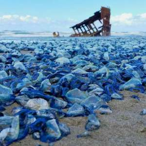 Billions of Weird Blue Jellyfish washed ashore on the West Coast