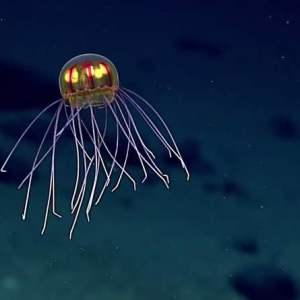 Rare beautiful Crossota jellyfish