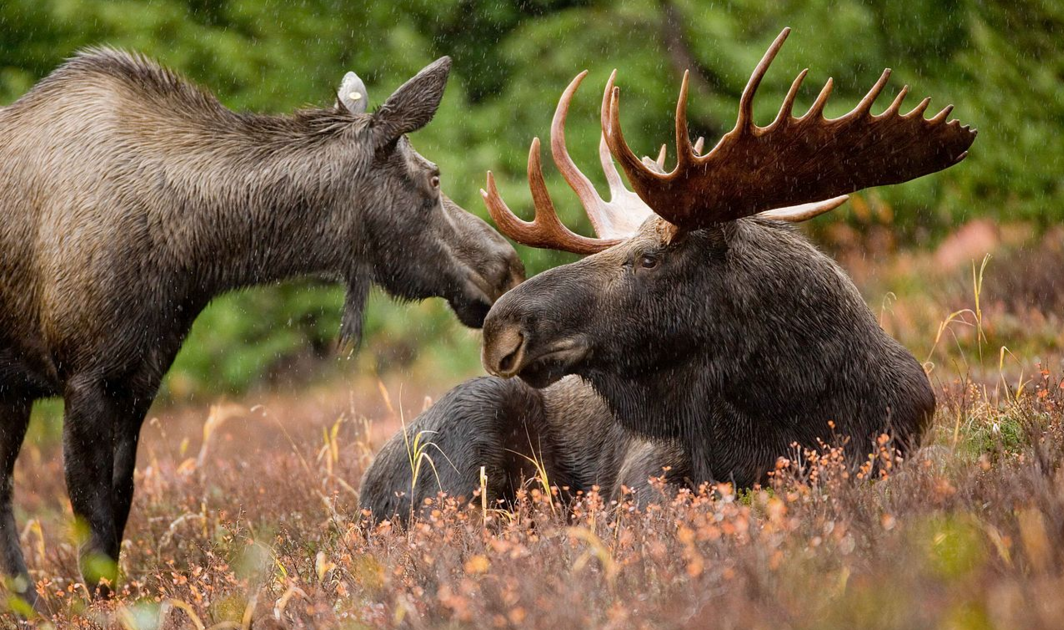 Image For Moose Hunting In Newfoundland Canada