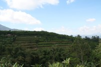 The famous rice terraces of Bali